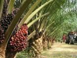 """Пальмовое масло """"Малазия"""" (Palm oil) - фото 1"""