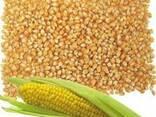 Ячмень, Кукуруза - фото 1
