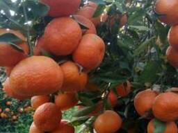 Mandarines Morket - фото 1